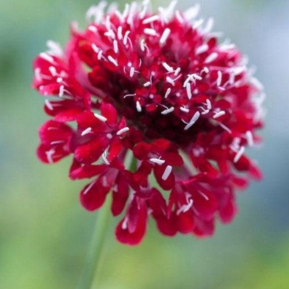 15+Seeds Pincushion Double Red Flower Seeds Scabiosa Atropurpurea