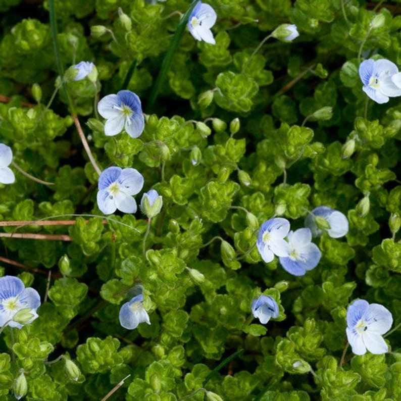 50 CREEPING BLUE SPEEDWELL VERONICA Repens Flower Seeds *Comb S//H /& Free Gift
