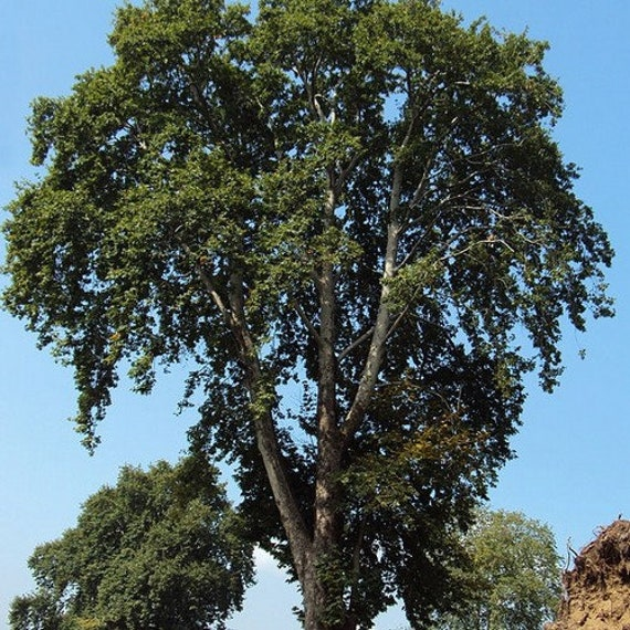 ORIENTAL PLANETREE Platanus Orientalis 15 SEEDS FREE S/&H