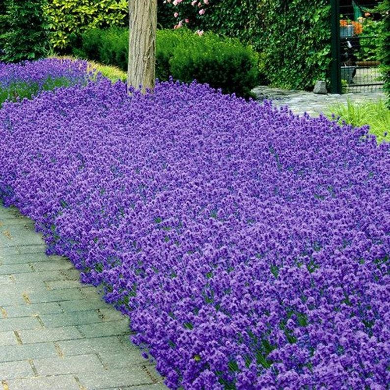 Lavender Munstead Flower Seeds  Lavandula Angustifolia image 0