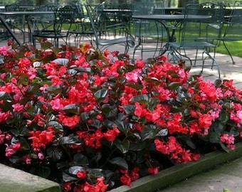 Begonia Wax Red Flower Seeds (Begonia Semperflorens Red) 200+Seeds