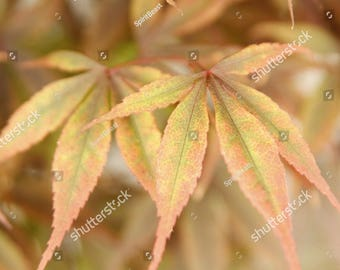 Printable Beautiful Summer Colourful Japanese Maple Leaves Photography, Nature Poster, Postcard Digital Download