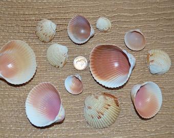 Shells, Cockle Shells from Sanibel Island FL, Shells for Crafting, Sea Shells, Cockle Shells