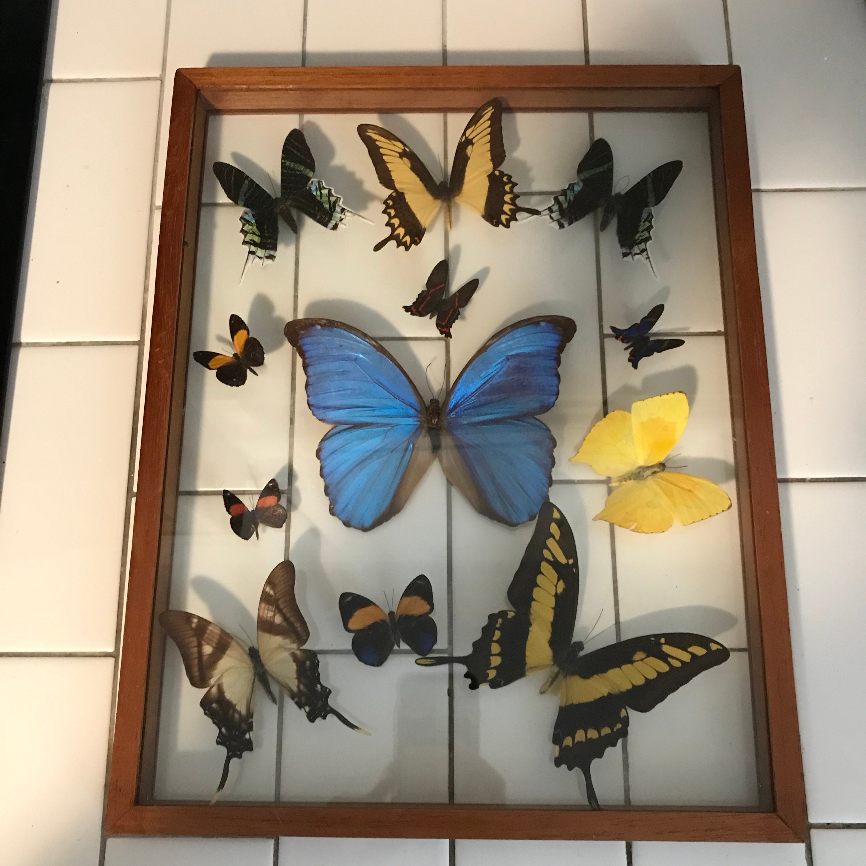 Vintage butterfly collection beautiful detailed and colorful taxidermy wall hanging double sided glass wooden frame curiosities collectible