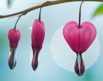 Pacific Bleeding Heart. Spring flower macro photography. Wall decor.