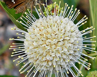 Cephalanthus occidentalis, Buttonbush, Nectar for Pollinators, Food for Birds, FREE Shipping!