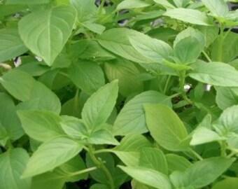 0.5g approx. 110 lemon basil seeds CITRIODORA sweet lemon scented leaves