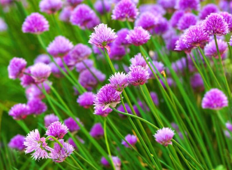 150 Graines Fines herbes-Basilic-violet volants