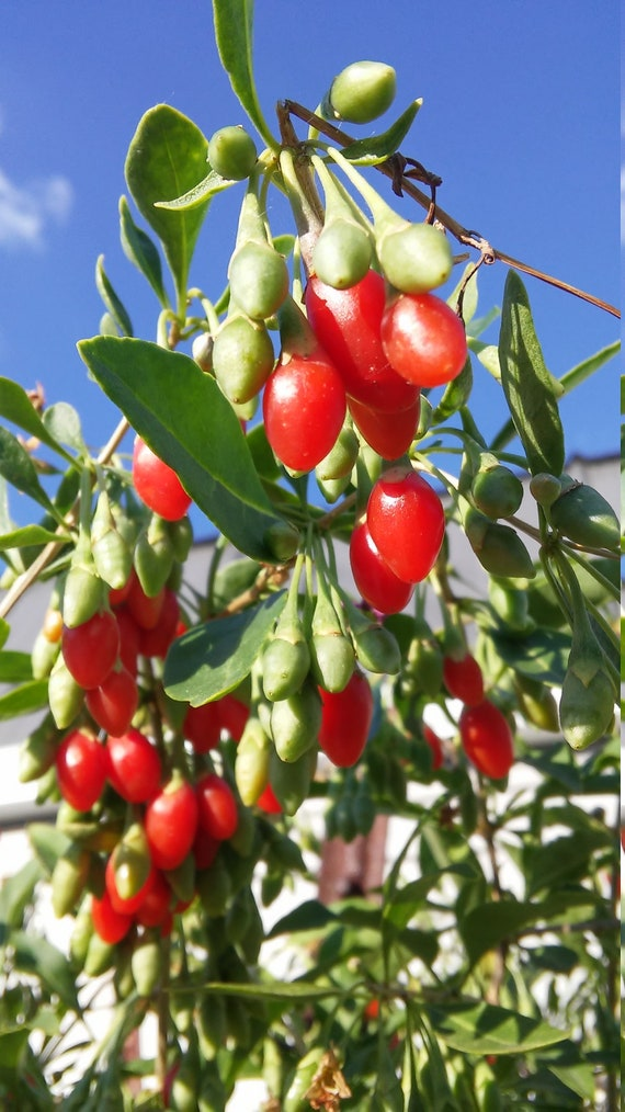 40 Goji Berry Seeds Fruit Seeds Wolfberry Seeds Wolfberries Etsy