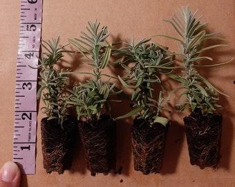 4 Lavender plugs, live herb plants, Munstead Lavender,Lavender, Plant, English Lavender, medicinal plants, starter plants, fall