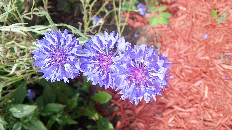 100 Tall Blue Cornflower Seeds Blue Bachelor Button Seeds Etsy