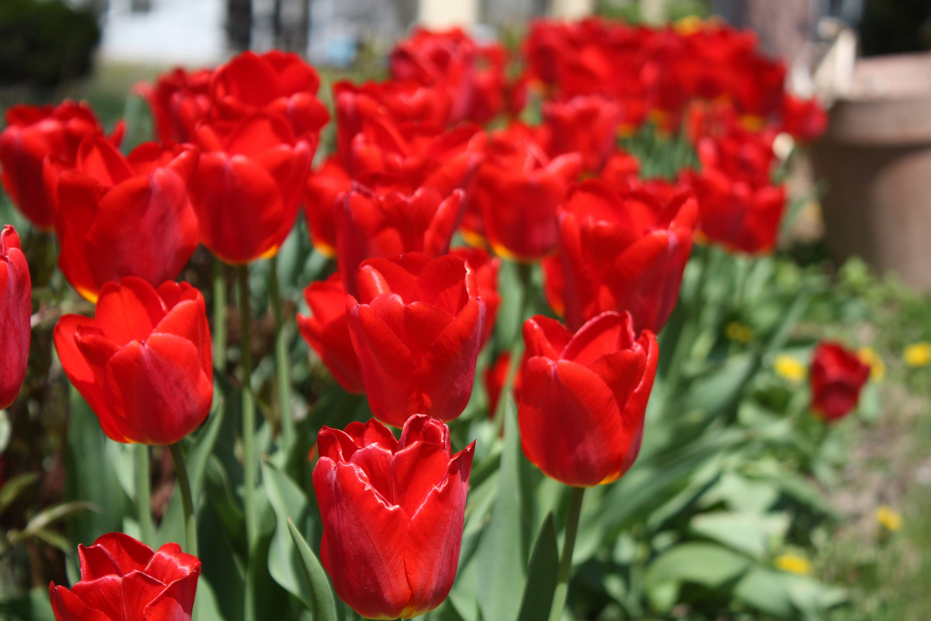 10 small red tulip bulbs spring flowering bulbs fall planting etsy zoom mightylinksfo