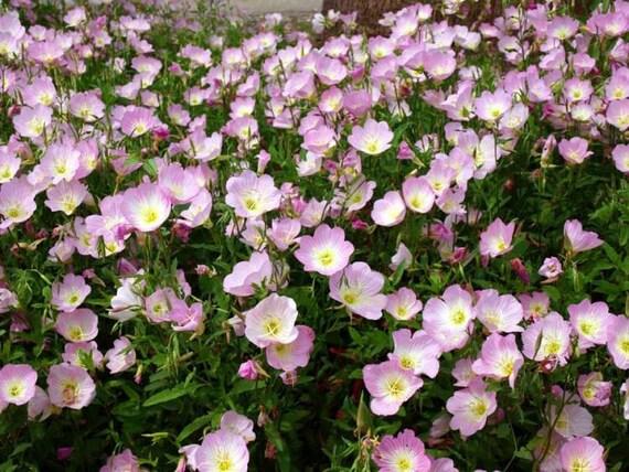 100 primrose seeds evening primrose seeds pink primrose etsy image 0 mightylinksfo