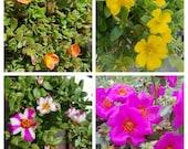 Lot Bundle 4 Types Purslane Portulaca Coral Fucshia Yellow Pink Stripe - 20 Fresh Cuttings
