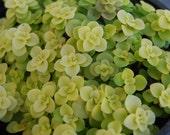 Japanese Sedum Makinoi 39 Ogon 39 - Fairy Garden Plant Ground Cover Stonecrop