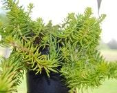 Sedum Angelina - Miniature Live Plant - Fairy Garden Stonecrop - Easy Care