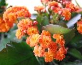 Kalanchoe Blossfeldiana Miniature Rose - Flaming Katy - Christmas Kalanchoe -Pretty Flower Live Plant - Easy Care