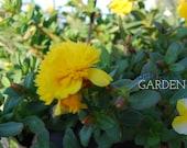 Fairy Tales Sleeping Beauty Purslane Yellow Double Flower Portulaca