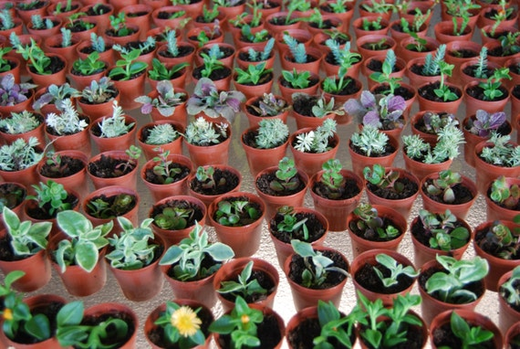 Merveilleux Terrarium Lot Of Three Miniature Fairy Garden Plant Mixed   Etsy