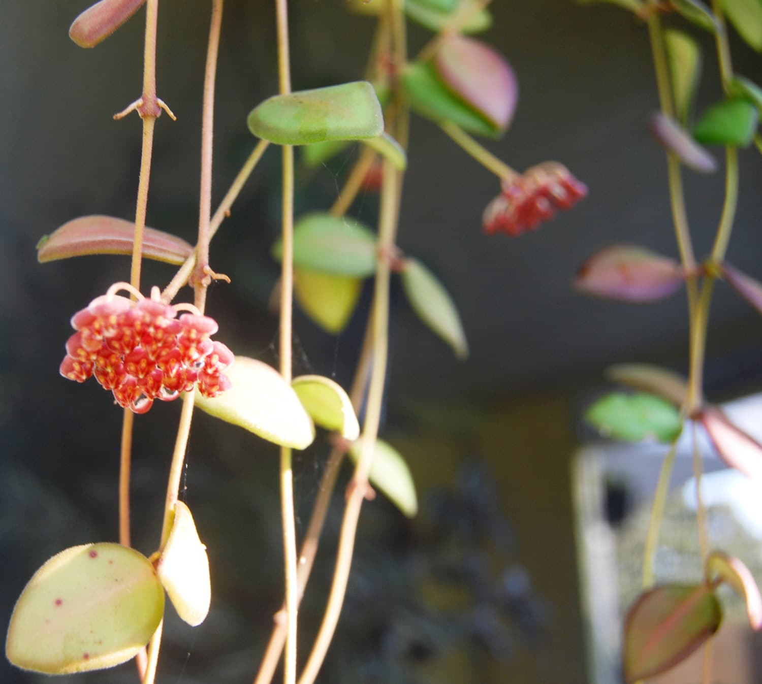 Easy Care Pretty Flowering Tropical Outdoor or House Plant Hoya Wayetii