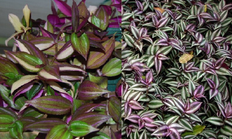 2 Types Green Purple Wandering Jew Tradescantia House Etsy