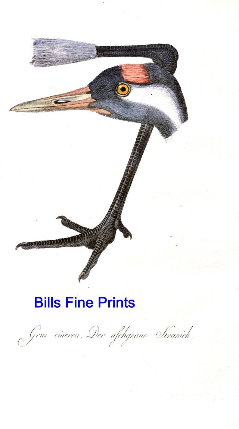 Great Grey Crane c.1810