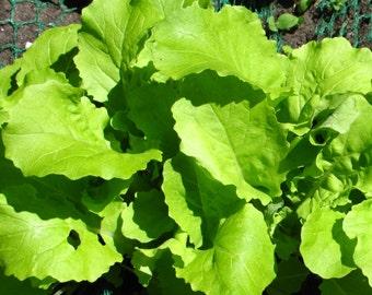 Tokyo Bekana Mustard (Brassica juncea) - Organic Vegetable Seeds 0.5 Grams ~ 150 Seeds