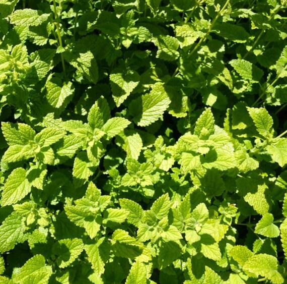 600 seeds//Seeds Melissa