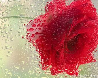 Red Rose in a Light Rain