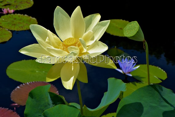 Lotus blossom photograph cream yellow aquatic flower instant etsy image 0 mightylinksfo