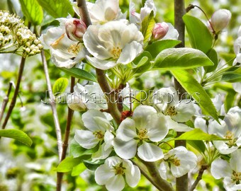 Springtime Crabapple photograph white blossoms flowers delicate petals Instant download photo spring nature blooming art macro photography