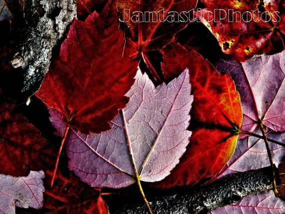 Autumn Leaves Photograph Colorful Fall Red Maple Tree Instant Etsy