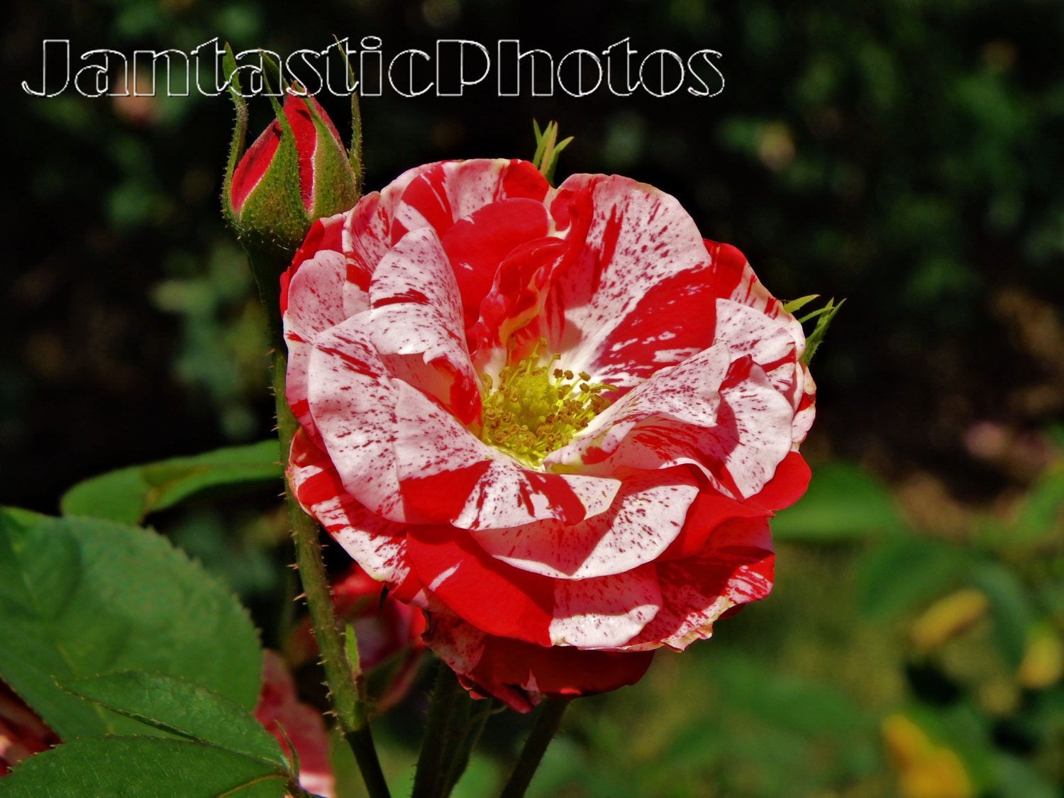 Rose Splatter Photograph Red White Flower Blossom Blooming Etsy