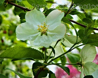 Apple Blossoms photograph white flowers delicate petals Instant download photo spring nature blooming art macro photography springtime