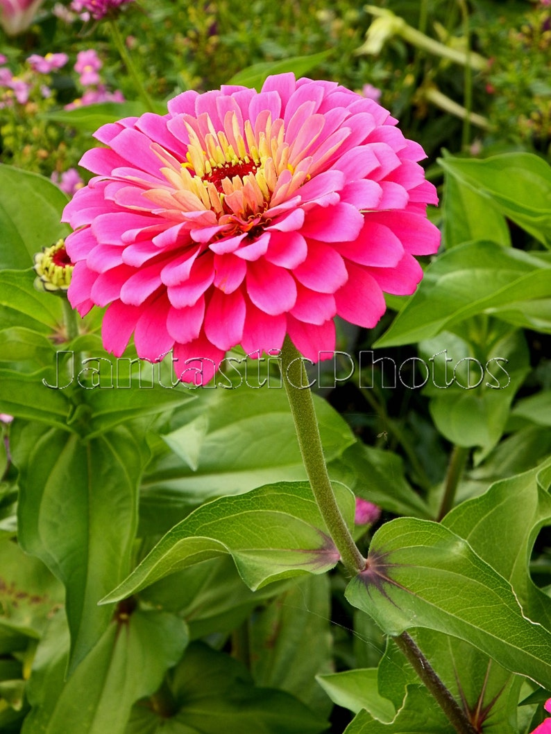 Indian Summer Afternoon At Olbrich >> Pink Zinnia Photograph Beautiful Bright Flowers Instant Etsy