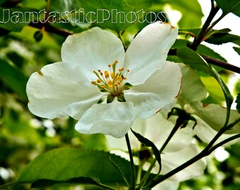Apple Blossom photograph white flower delicate petals Instant download photo spring nature blooming art macro photography springtime