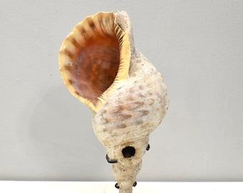 Papua New Guinea Triton Shell War Fisherman's Horn