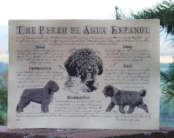 Antique styled dog standard - Perro de Agua Espanol
