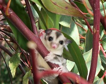 1/2 pound Eucalyptus Branches, Organic Eucalyptus Sugar Bear toy, Pocket Pet toy, Bird toy, small animal toy, exotic animal toy