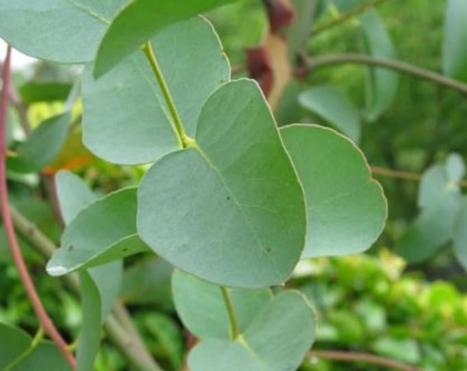 Featured listing image: 5 Pound Combo Pack, Branches and Leaves, Organic Eucalyptus
