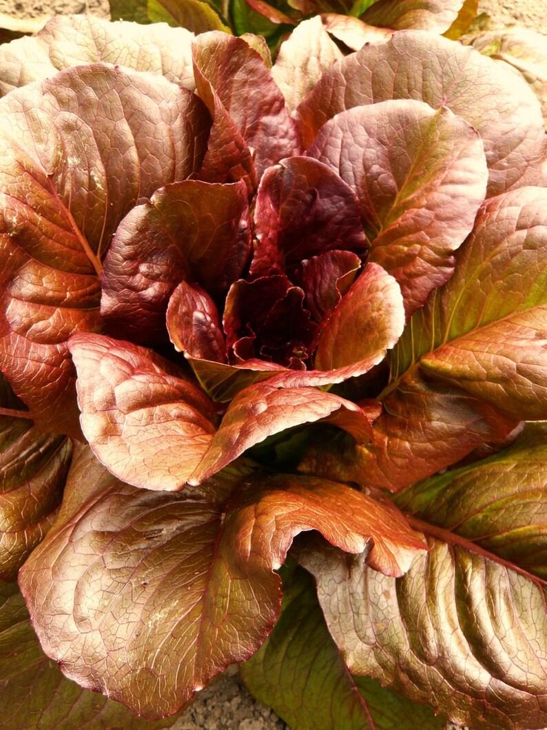 Ruby Red Loose leaf Lettuce 500-80,000 SEEDS Heirloom crispy Beautiful Rare