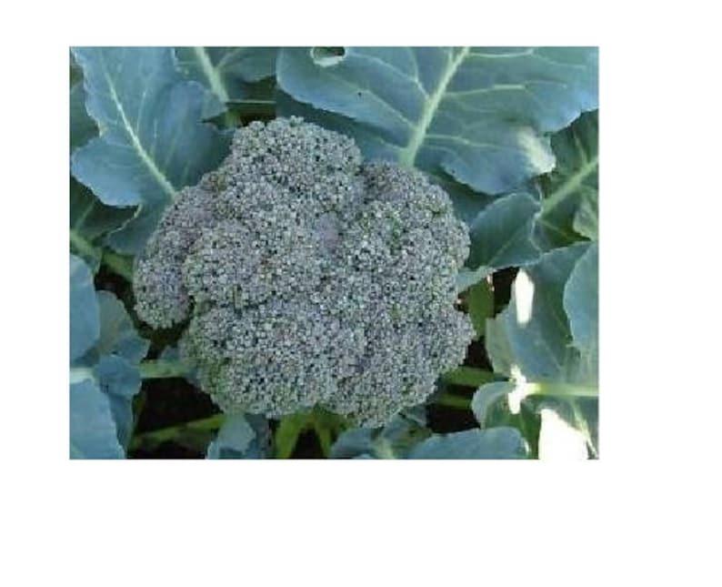 250 Seeds Waltham Broccoli 29 Fresh great for farmers markets Heirloom