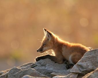Fox on Watch