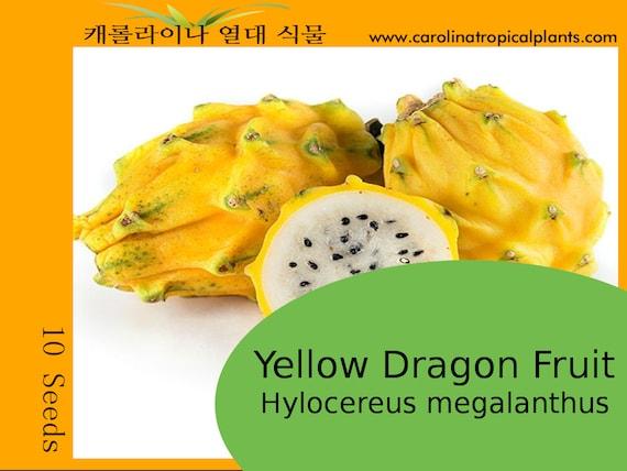 10 Seeds Yellow Dragon Fruit Pitaya Hylocereus megalanthus