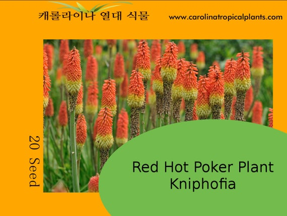 20 seeds Kniphofia//Red Hot Poker-Flamenco