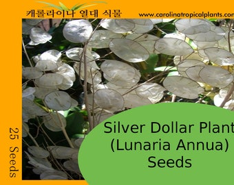 Silver Dollar Plant (Lunaria Annua) - 25 Seed Count