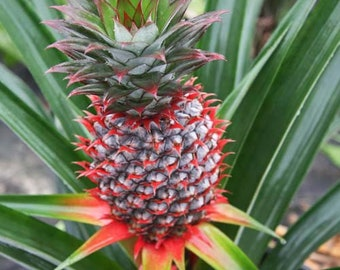 Florida Special Pineapple - Gorgeous and Delicious!