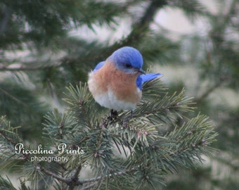 Bluebird in a Pine Tree