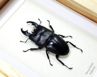 Framed Dorcus alcides Large Black Stag Beetle Taxidermy A1 #48