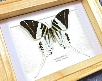 FREE SHIPPING Framed Graphium Androcles Giant Swordtail Swallowtail Butterfly Taxidermy A1- #171